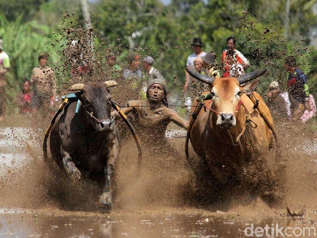 Ini Baru Laki! Tradisi Balap Sapi di Sumatera Barat