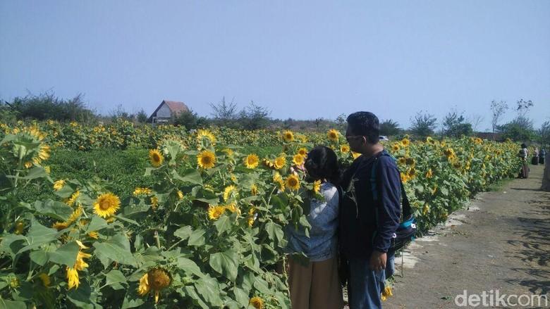 Foto: Taman bunga matahari di Bantul (Usman Hadi/detikTravel)