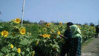 Taman Bunga Matahari di Bantul (Usman Hadi/detikTravel)