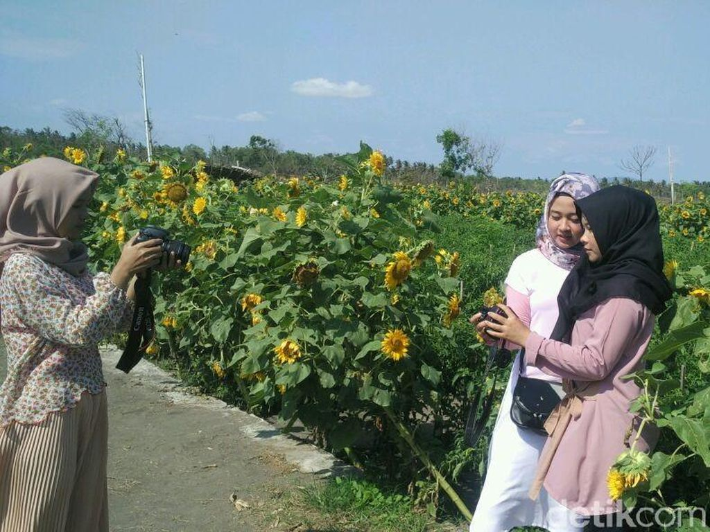 Ada Taman Bunga Matahari Instagramable di Bantul