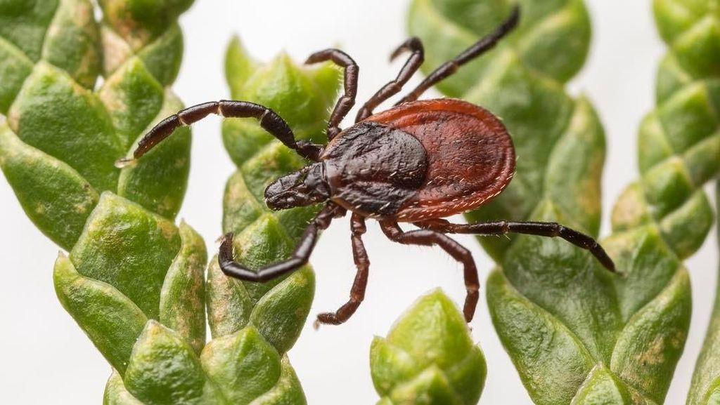 7 Jenis Kutu Berbahaya yang Bisa Sebabkan Infeksi