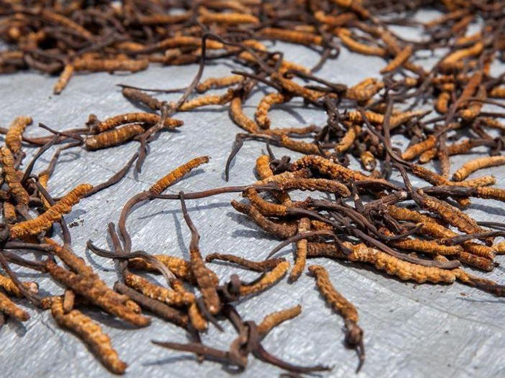 Foto: Jalur Sutra Tibet Penghasil Jamur Berharga Ratusan Juta