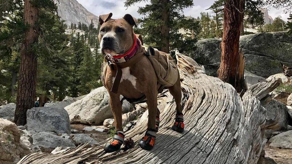 Foto: Ini Penni, Anjing yang Suka Hiking
