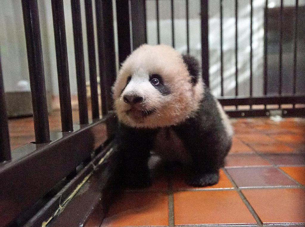 Bikin Gemas! Kumpulan Bayi Panda Asyik Bermain