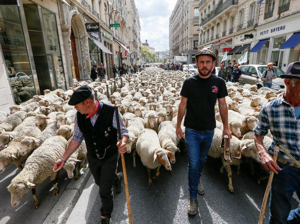 Domba Prancis Turun ke Jalan dalam Aksi Anti Serigala