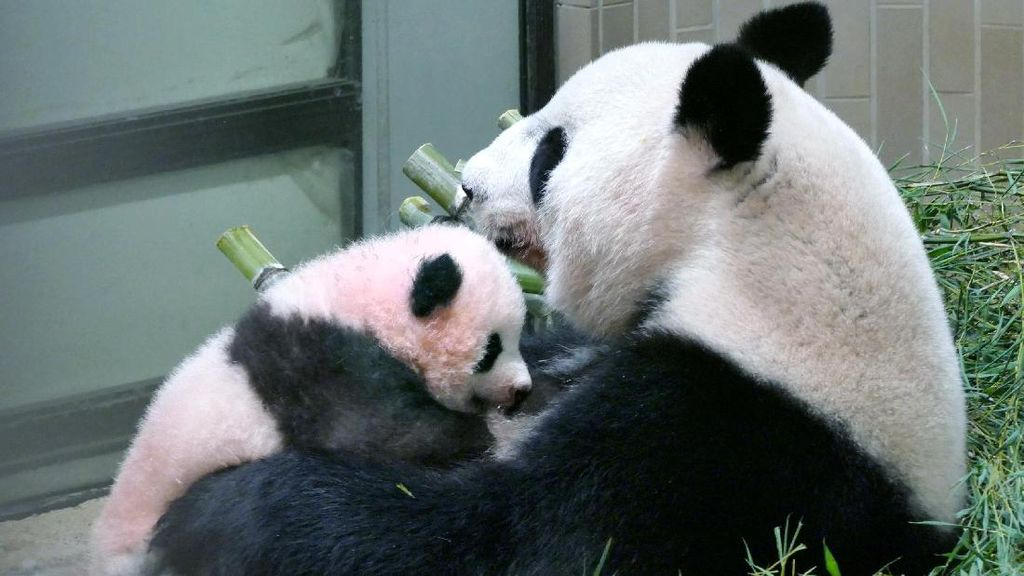 Gemas, Kebun Binatang Tokyo Tambah Koleksi Bayi Panda