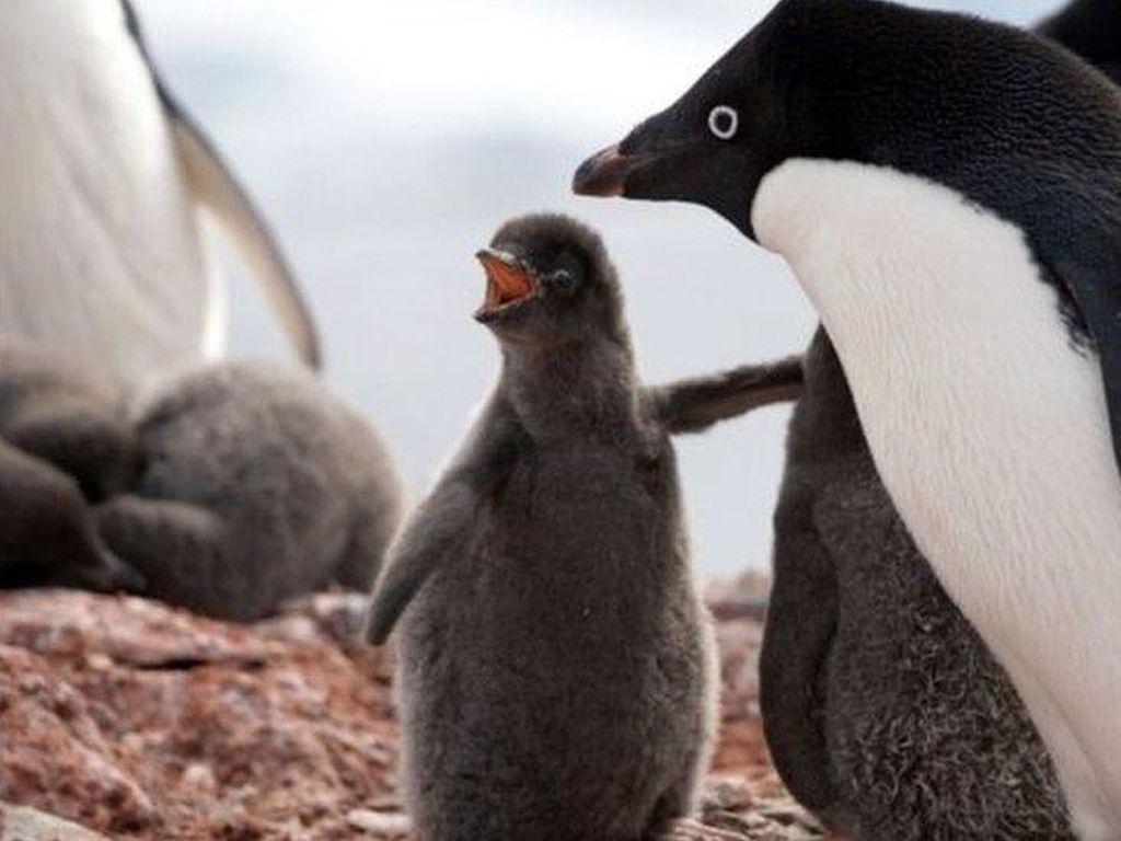 Penguin Terancam Punah, Afrika Selatan Buka Bank Sperma