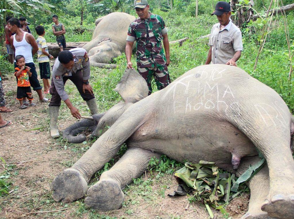 Tragis, 2 Ekor Gajah Sumatera Mati Tersengat Listrik di Aceh