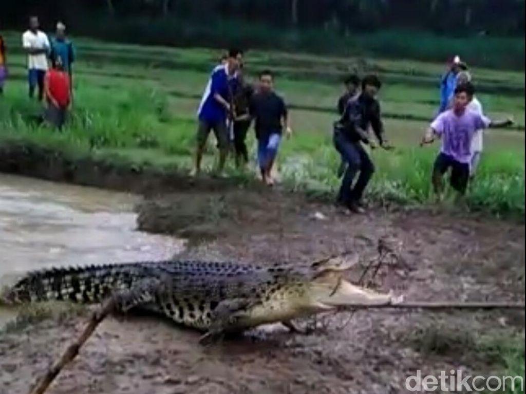 Banjir Datang, Buaya Ukuran Besar Muncul di Sungai Kebumen