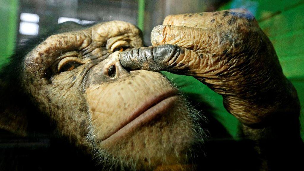 Lucu! Simpanse Ini Tertangkap Kamera tengah Ngupil