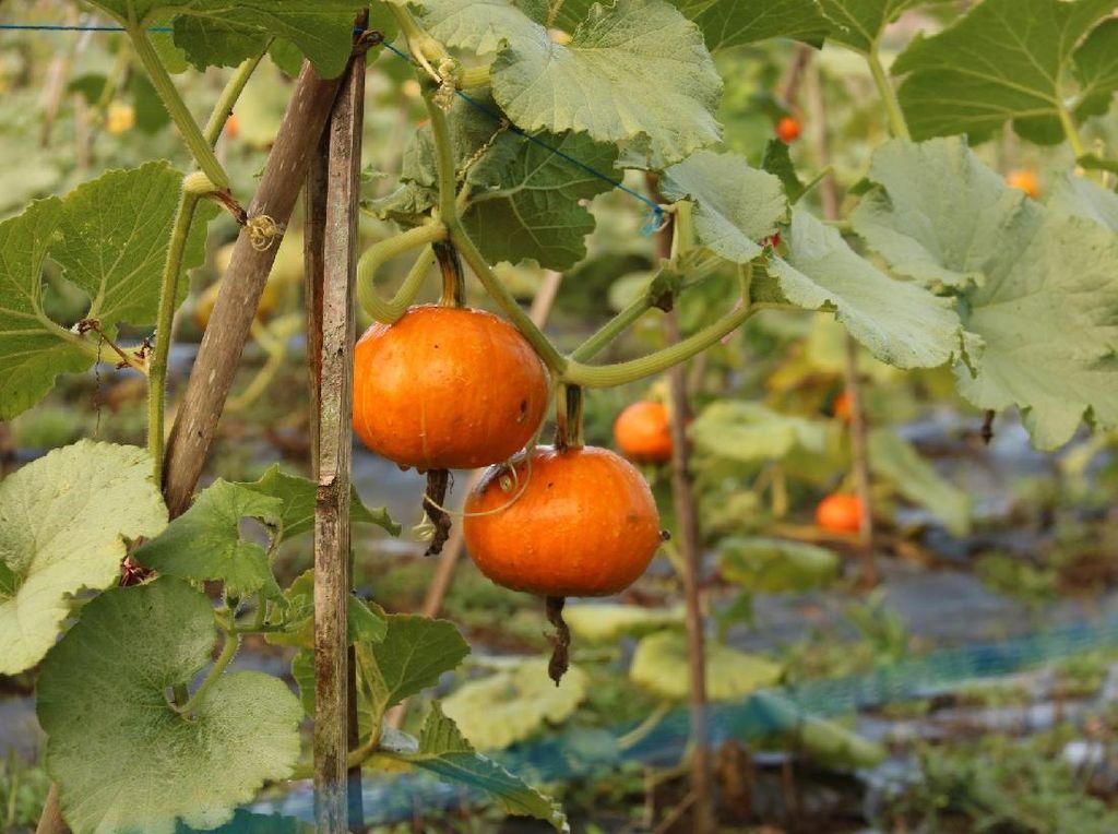 Panen Raya, Harga Tomat Terjun Bebas