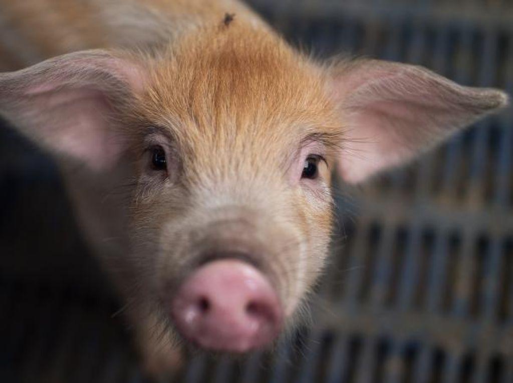 Bangkai Babi Kembali Ditemukan di Pinggir Jalan Kota Medan