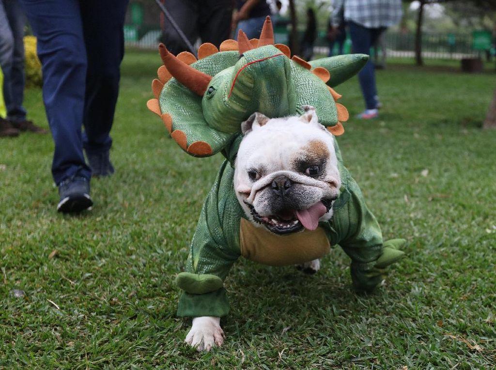 Wah! Anjing-anjing Pakai Kostum Halloween di Peru