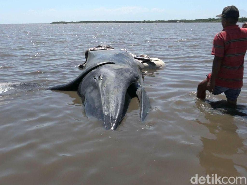 Bangkai Paus Sepanjang 5 Meter Terdampar di Perairan Tongas