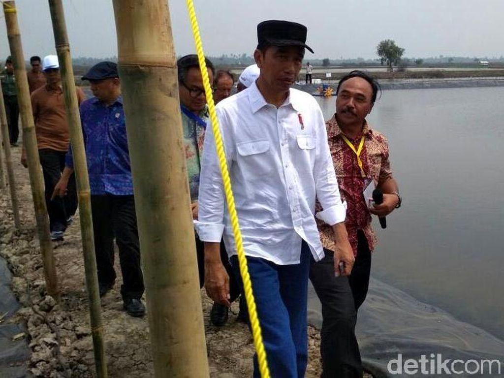 Berkemeja Putih Dipadu Jeans, Jokowi Tebar Benih Udang di Bekasi