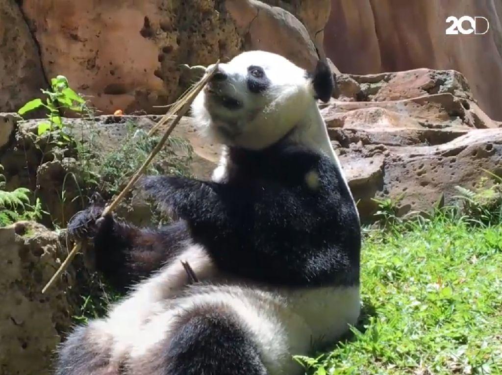 Gemas! Begini Tingkah Panda Raksasa di Taman Safari