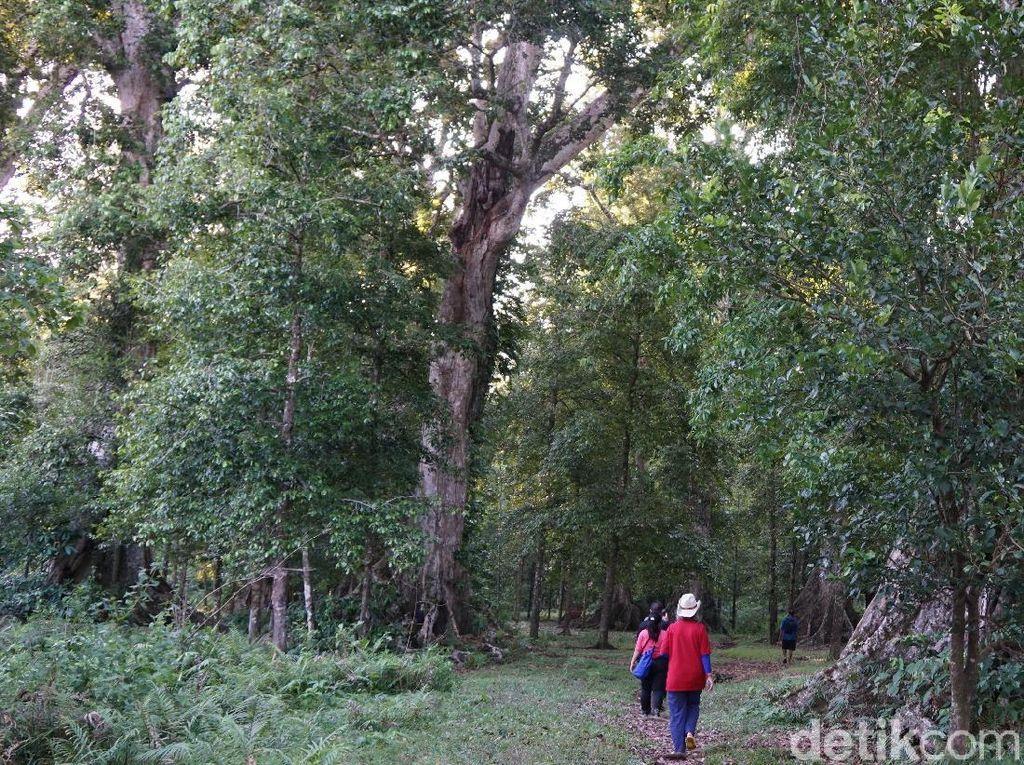 Foto: Ini Kebun Pala Tertua di Indonesia