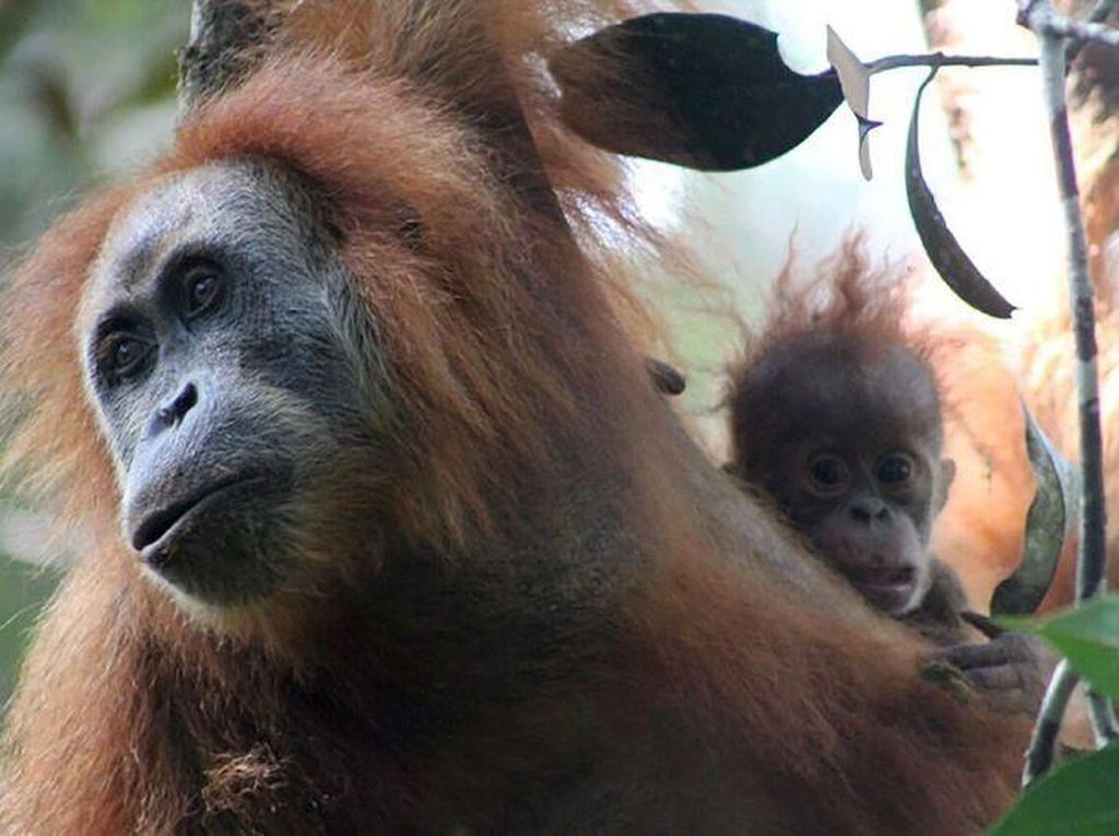 Polda Kalteng Tangkap Dua Pria Pembunuh Orangutan Tanpa Kepala