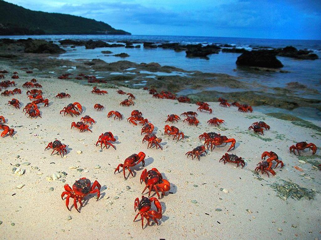 Foto: Waduh, Pulau Ini Isinya Ribuan Kepiting