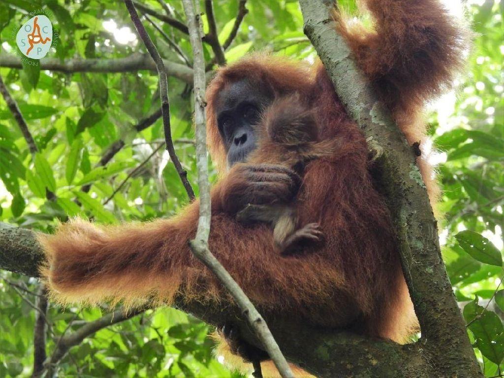 Kenalkan Mameh, Bayi Orangutan Cantik dari Aceh