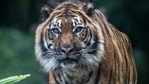 Pekerja HTI di Riau Tewas Diterkam Harimau Sumatera