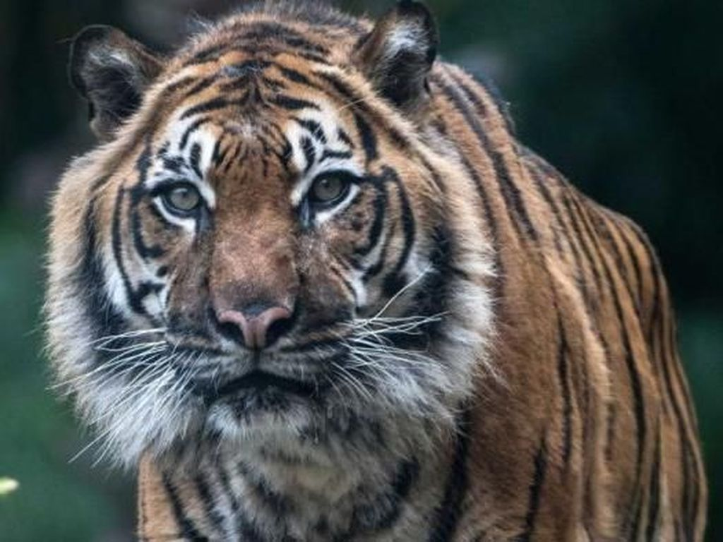 Apakah Memakai Topeng di Punggung Ampuh Hindari Serangan Harimau?