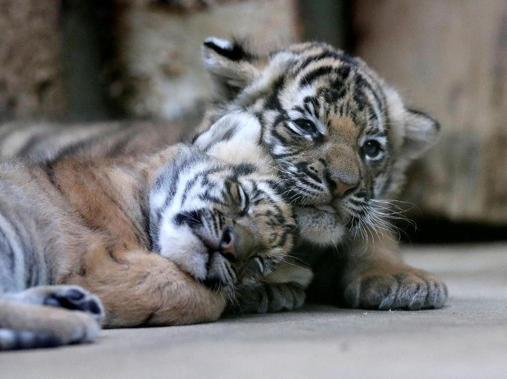 Gemasnya Bayi Kembar Harimau Malaya Langka yang Lahir di Praha