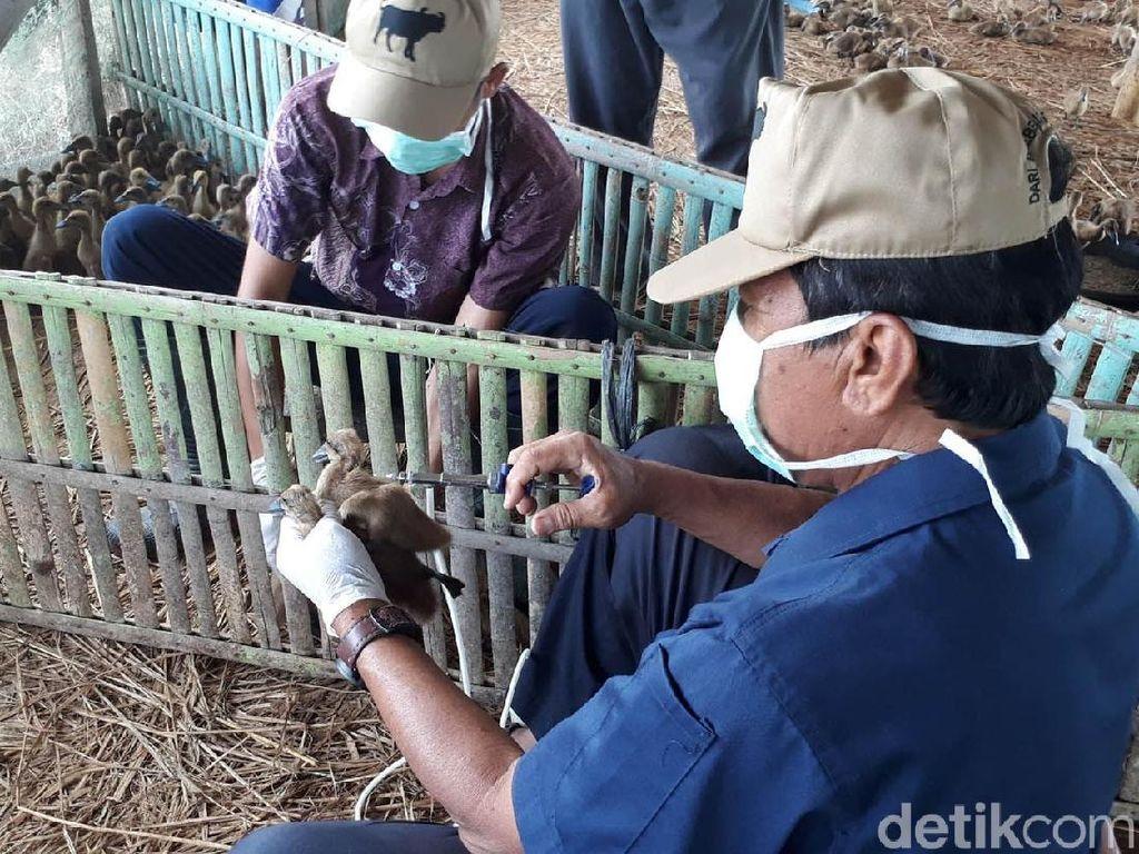Flu Burung Masih Berpotensi Jadi Penyakit Pandemi di Indonesia