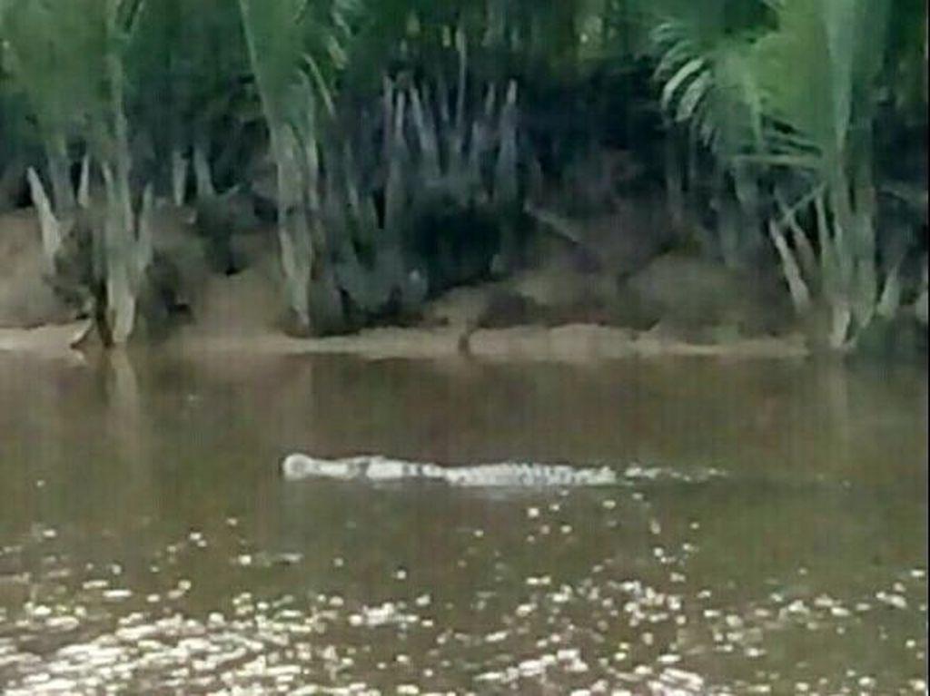 Muncul 2 Buaya yang Berseliweran di Sungai, Warga Aceh Heboh