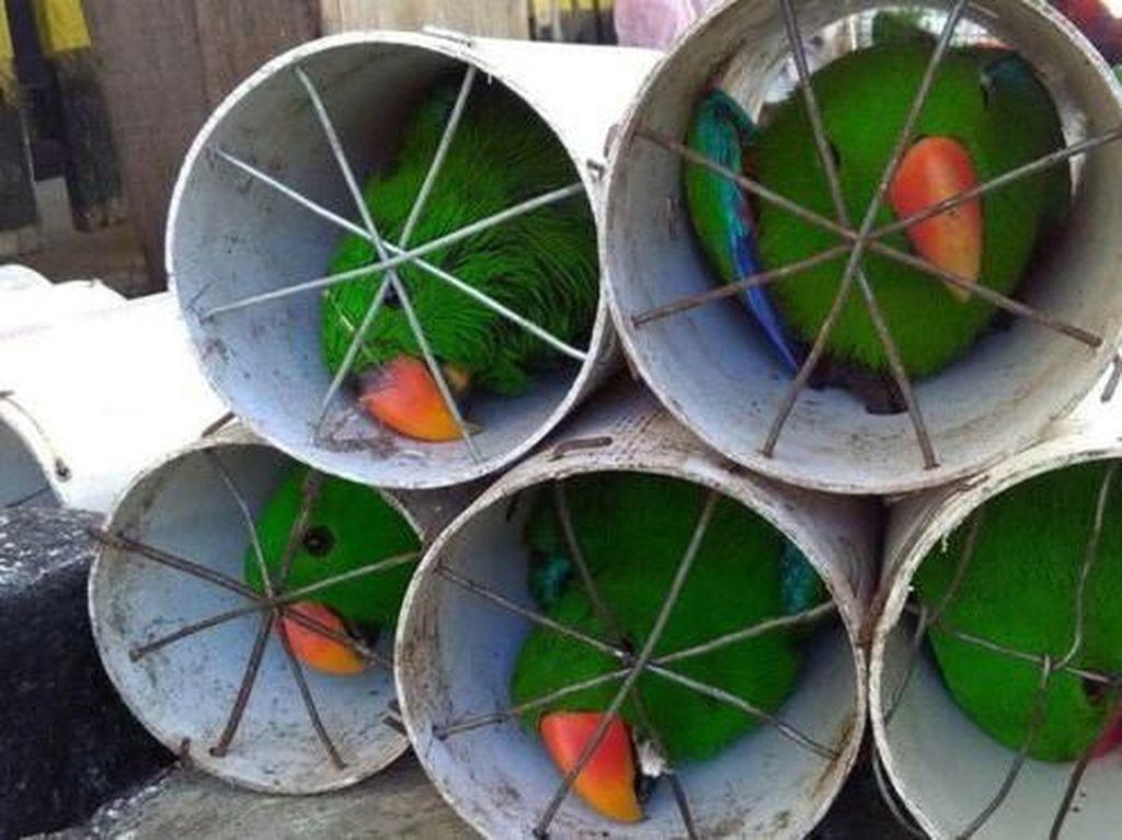 Foto: Derita Burung Kakatua dan Nuri yang Disekap di Paralon
