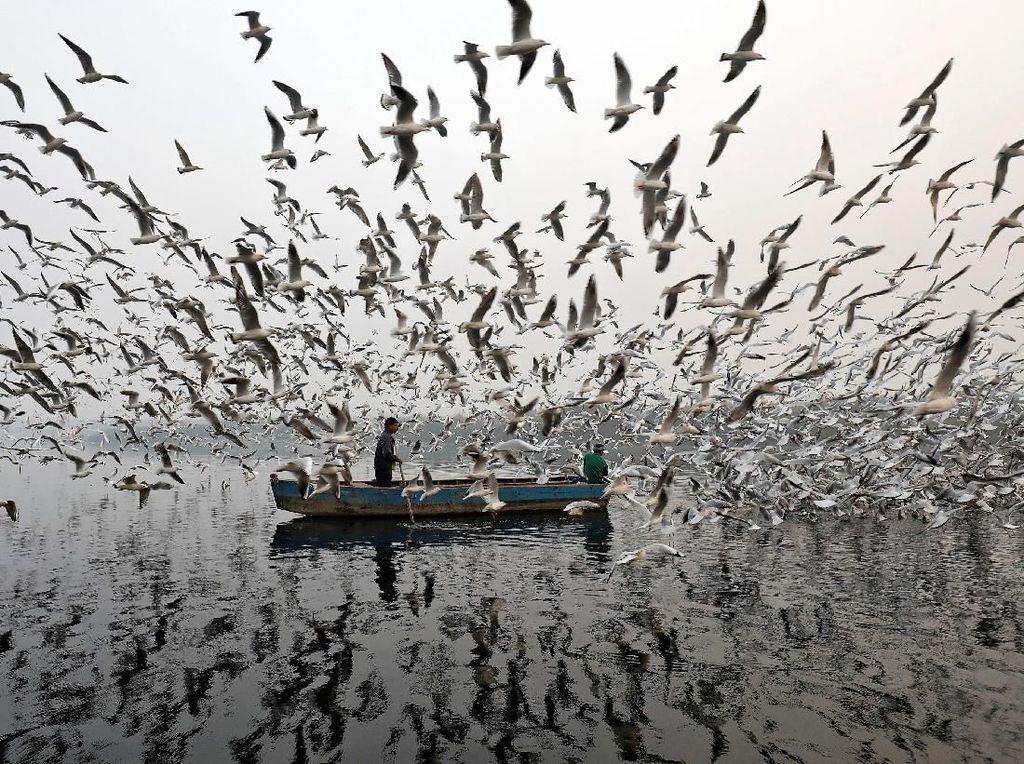Ratusan Burung Camar Kepung Pria Bersampan di Sungai Yamuna