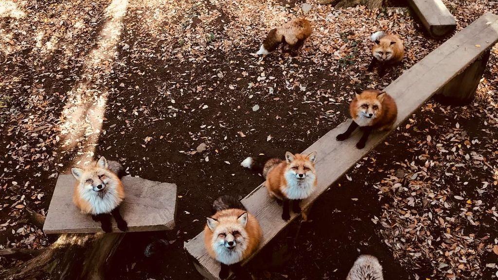 Foto: Desa yang Penghuninya Rubah di Jepang, Gemas Nggak?