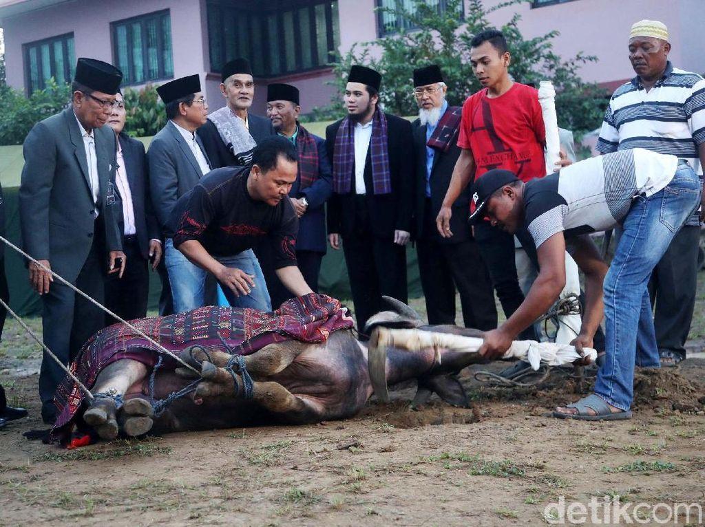 Foto: Detik-detik Pemotongan Kerbau untuk Pesta Adat Kahiyang-Bobby