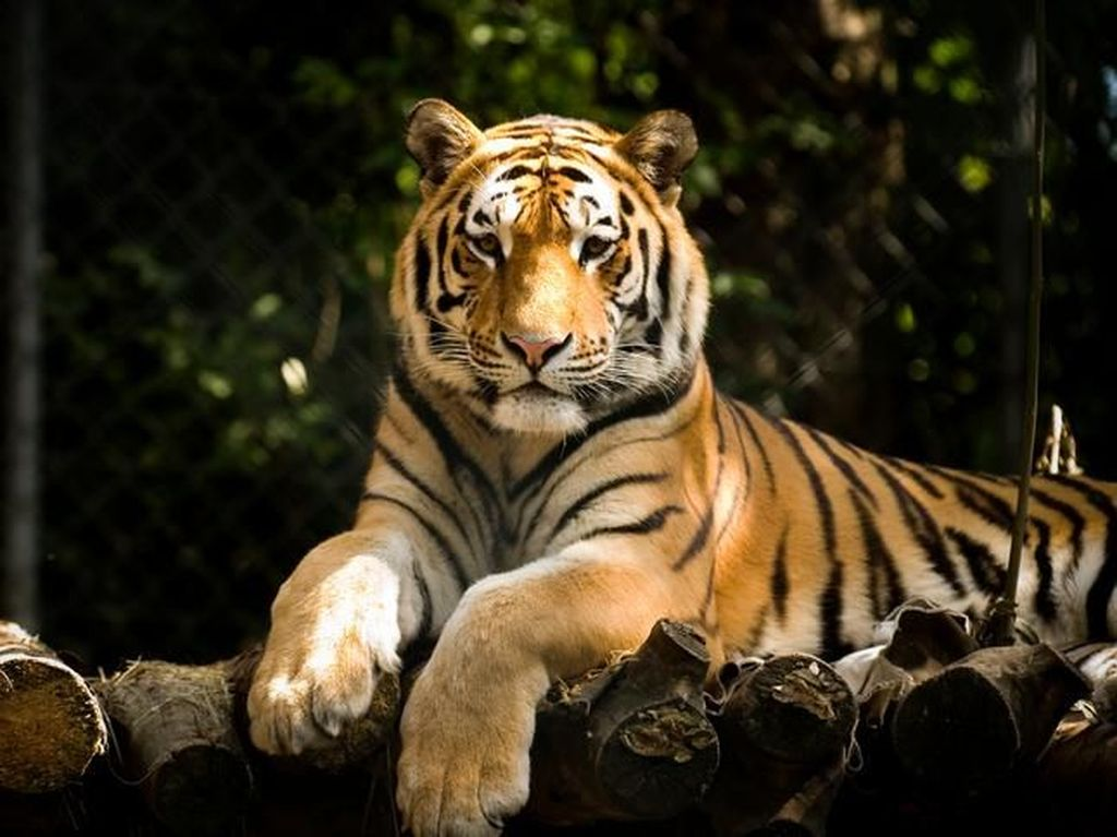 Tragis! Harimau di China Serang Pawangnya Sampai Mati