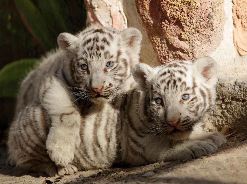 Masih Imut-imut, Ini Bayi Harimau Benggala yang Lahir di Meksiko