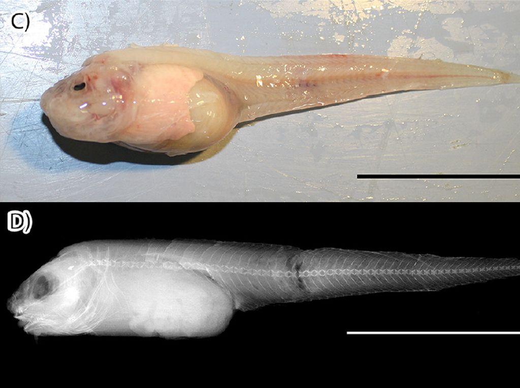 Ikan di Laut Kedalaman 8.134 meter dan Makanan Enak dengan Lelehan Keju