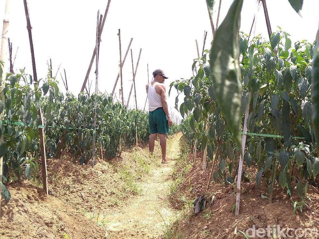 Petani Cabai di Cirebon Merugi Akibat Cuaca Ekstrem