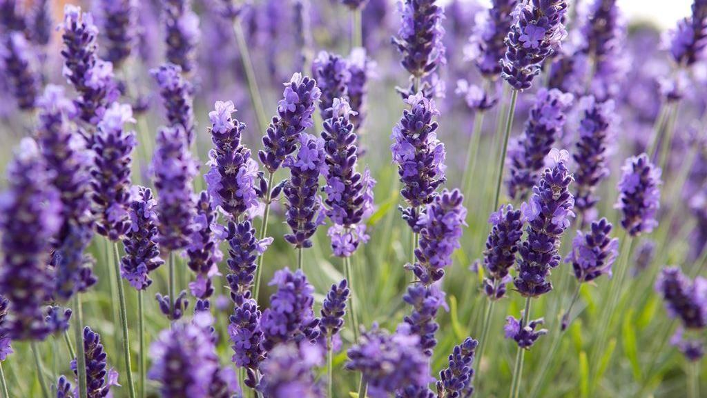 10 Bunga Ini Tak Hanya Cantik Sebagai Hiasan Tapi Juga Enak Dimakan
