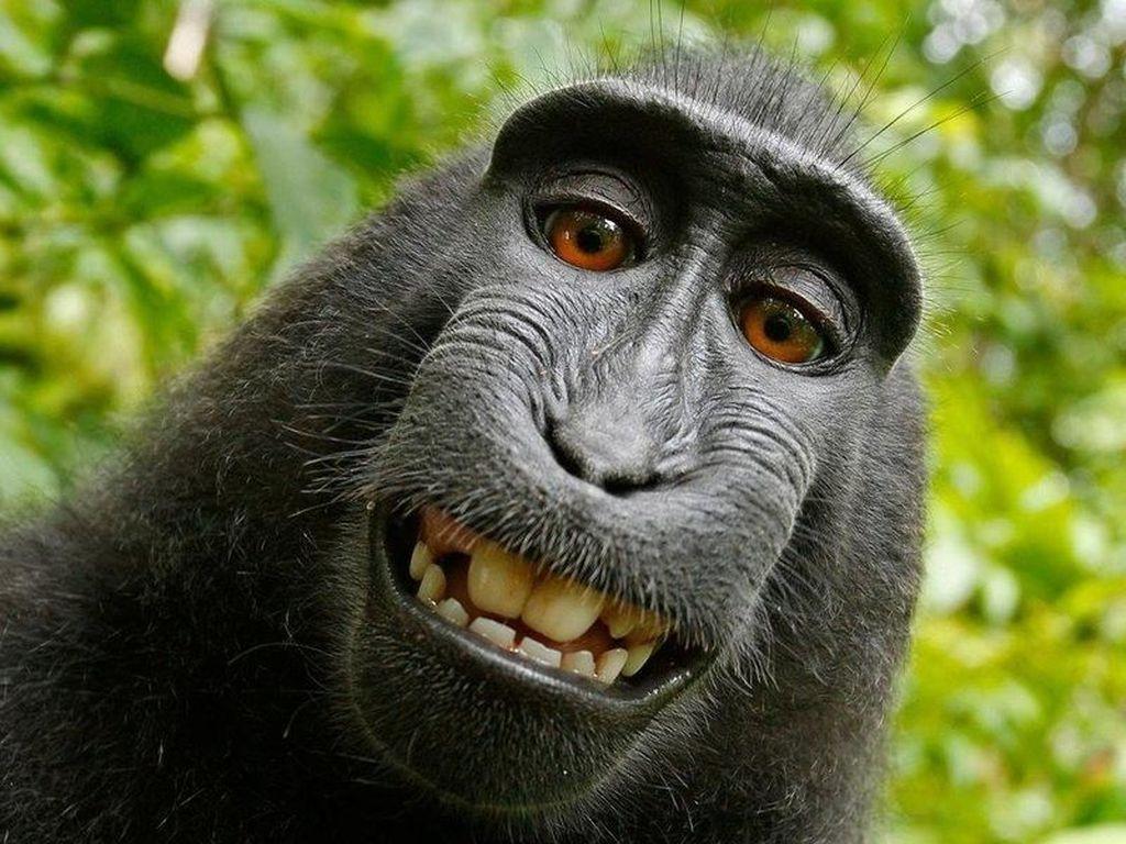 Monyet Indonesia yang Selfie Dipilih Jadi Person of the Year