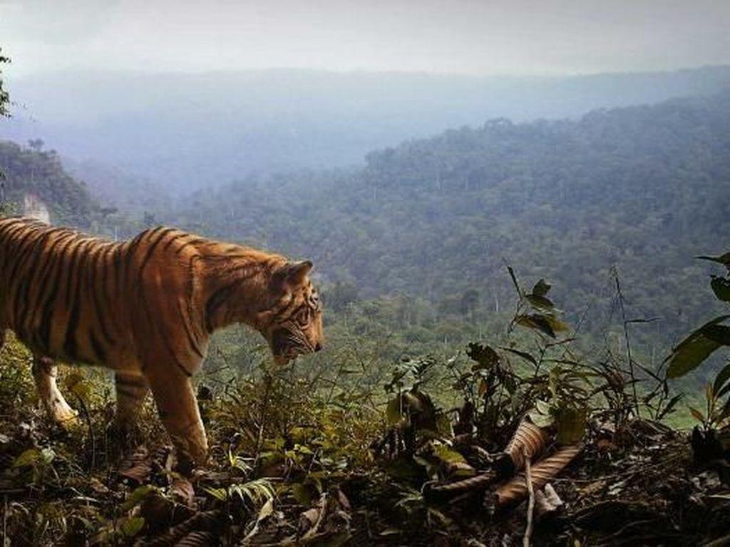 Dibawa ke London untuk Dikawinkan, Harimau Sumatera Bunuh Pasangannya