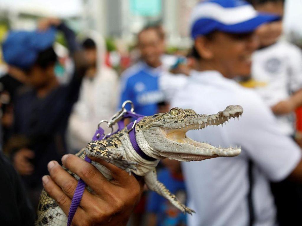 Ada Buaya Eksis saat CFD di Jakarta