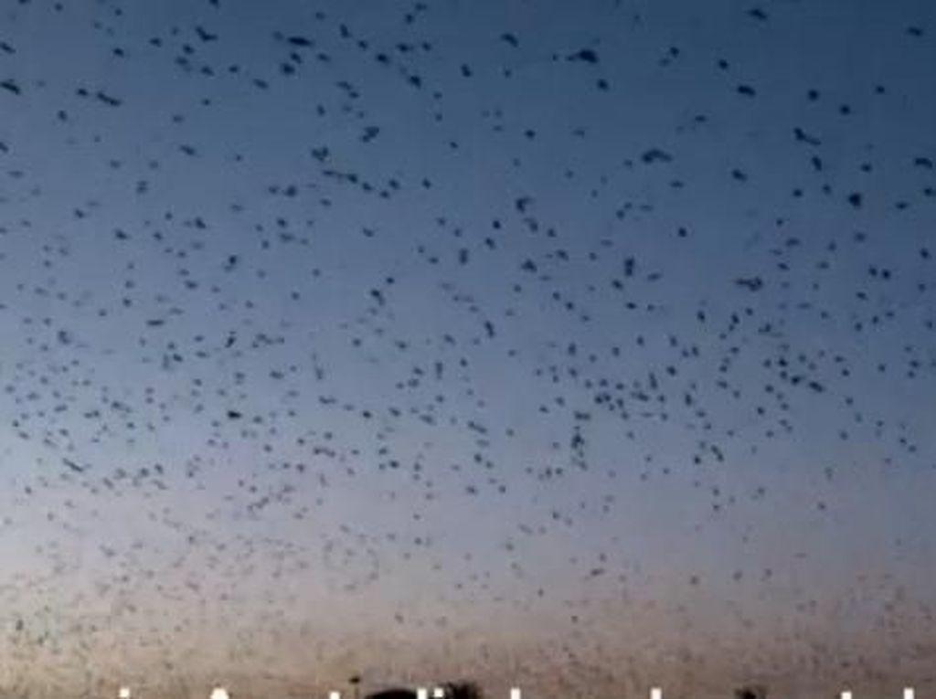 Ratusan Ribu Kelelawar Menghantui Queensland