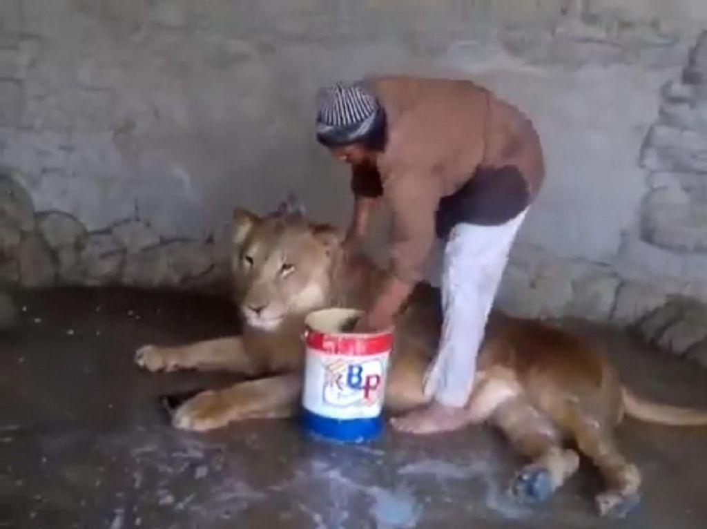 Bak Ayah ke Anak, Pria Ini dengan Santai Mandikan Singa
