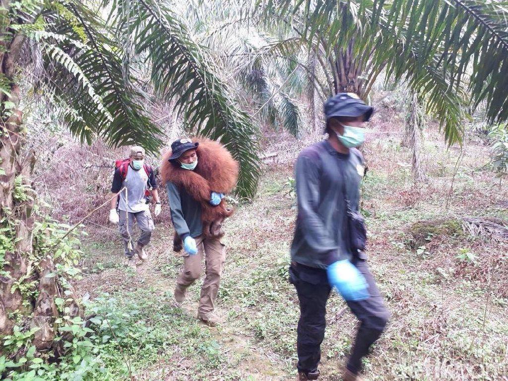 Terisolasi di Kebun Warga, Orangutan di Sumut Akhirnya Dievakuasi