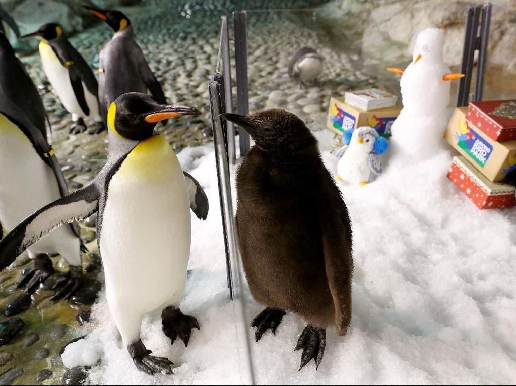 Lucunya Penguin Raksasa di Jurong Bird Park