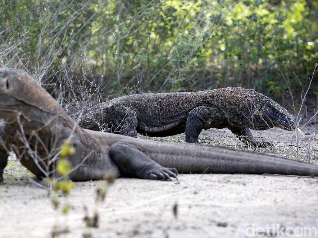 Taman Nasional Komodo Tutup Sementara