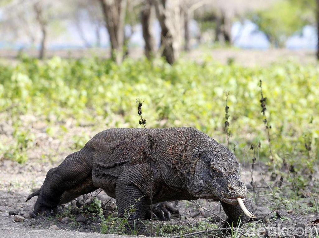 Kemenkeu Punya Ide Sewakan Komodo, Bagaimana Syaratnya?
