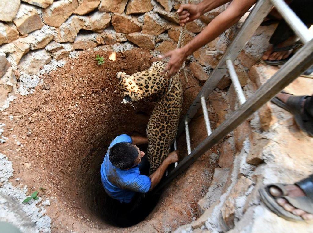 Foto: Kasihan, Macan Tutul Ini Terjebak di Sumur Kering