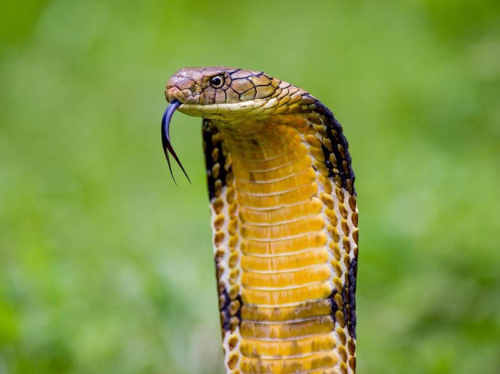 Kisah Tragis Tewas Dipatuk King Cobra: Irma Bule, Aril sampai Pawang