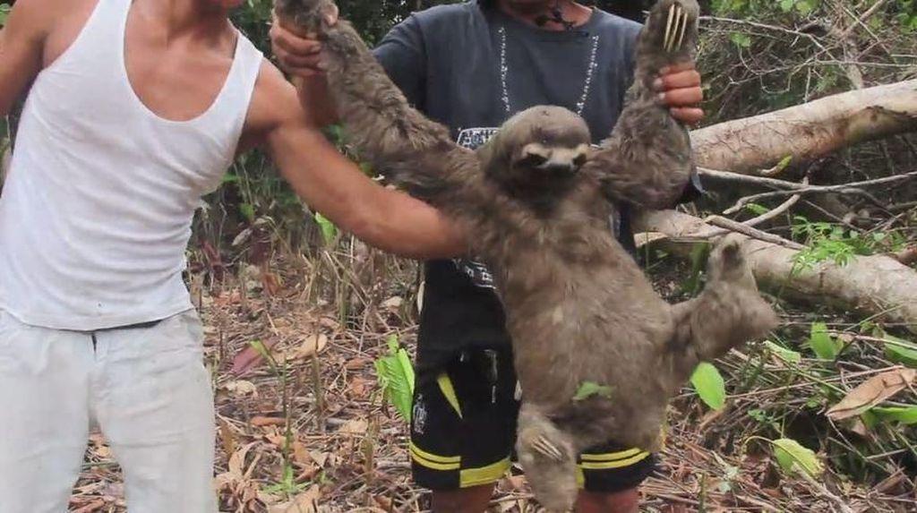 Potret Kejam Perburuan Sloth di Peru